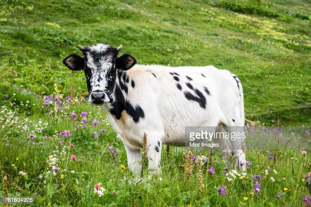 A cow with a white and black spotted hide standing in grassland, meadow pasture with wildflowers, Georgia.