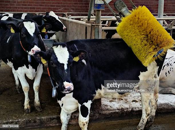Cow With Brushing Equipment