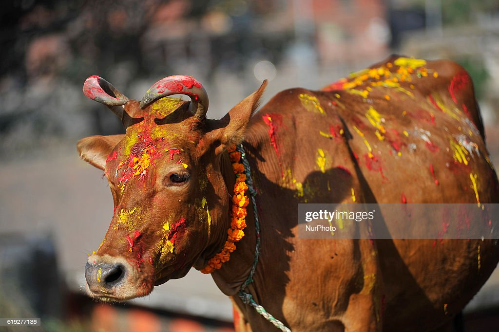 A Cow with colors and marigold flower garland after ritual puja on Cow worship day celebrated as the procession of Tihar or Deepawali and Diwali celebrations at Kathmandu, Nepal on Sunday, October 30, 2016. Tihar is a hindu festival celebrated in Nepal for 5 days. Cows are considered to be the incarnation of the Hindu god of wealth, Lord Laxmi. Nepalese devotees decorate the cows with marigold flower garlands and colored powders and offer the cows fresh fruits and vegetables.