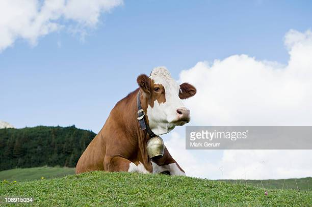 Cow with cow bell laying down