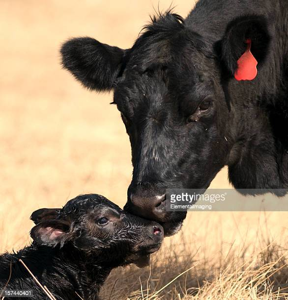 Cow with her newborn Calf