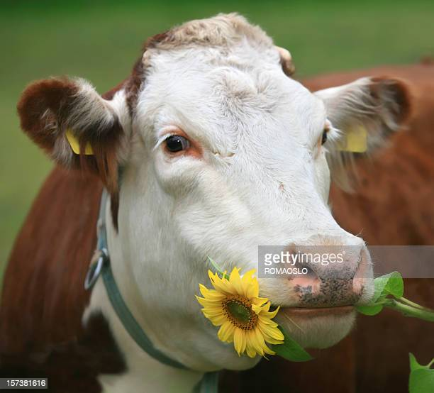 Cow with sunflower in her mouth