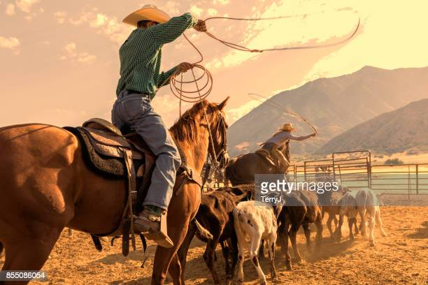 cowboy and cowgirl herd calves in order to rope one and brand it in the early morning - herd stock pictures, royalty-free photos & images