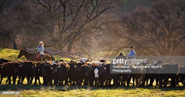 Cowboy and Cowgirl Herding Cattle