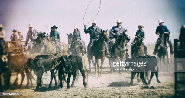 cowboy bull roundup - appaloosa stock pictures, royalty-free photos & images