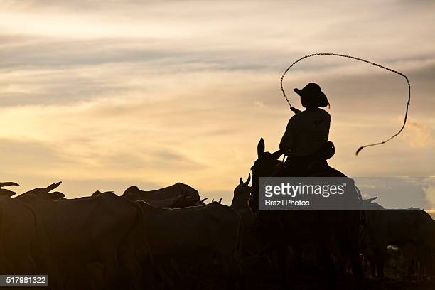 Cowboy guide the herd of cattle sunset at BR163 road in South Para State Amazon rainforest Brazil