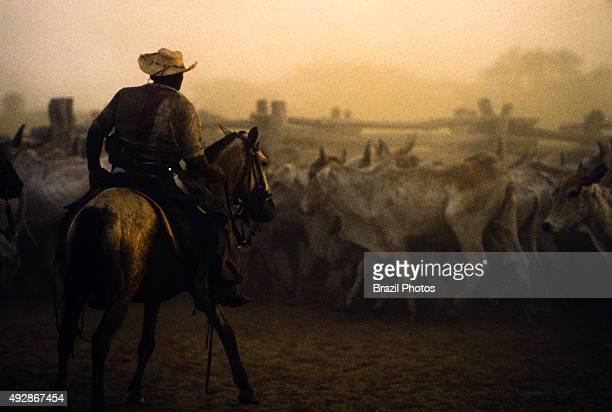 Cowboy guiding cattle livestock in Pantanal Matogrossense Brazil