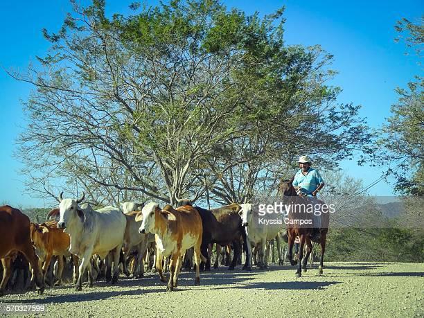 Cowboy heading cattle down street, Guanacaste, Costa Rica