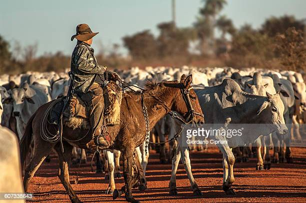 Cowboy herding cattle in Matto Grosso, Brazil