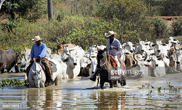 cowboy herding cattle in pantanal wetlands brazil - pantanal wetlands stock photos and pictures