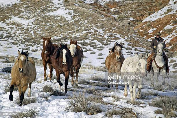 cowboy herding horses - appaloosa stock pictures, royalty-free photos & images