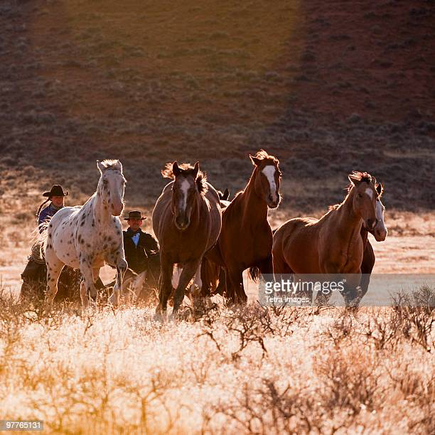 cowboy herding horses - grupo mediano de animales fotografías e imágenes de stock