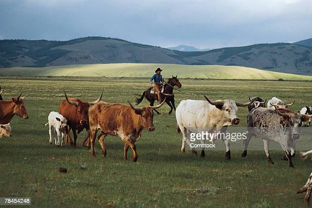 Cowboy herding longhorn cattle near Fairplay, Colorado