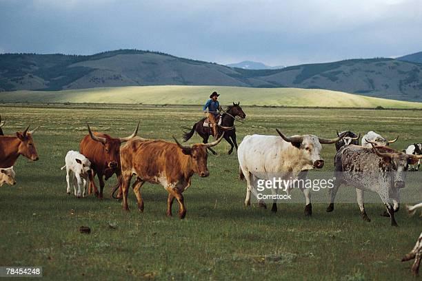cowboy herding longhorn cattle near fairplay, colorado - colorado westliche bundesstaaten der usa stock-fotos und bilder
