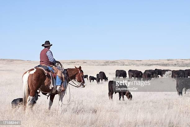 Cowboy Herding of Angus Cattle on Open Range
