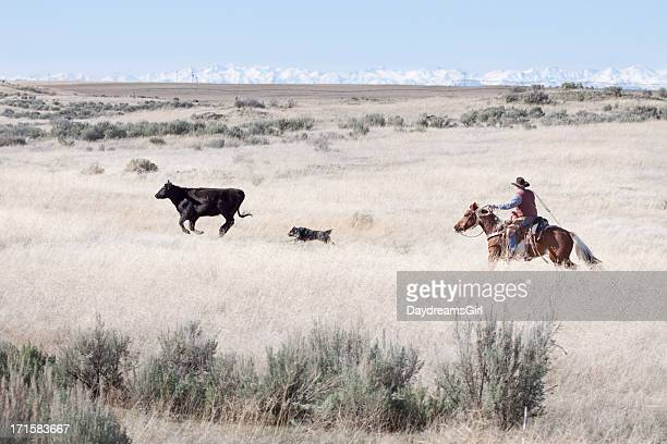cowboy herding of angus cattle on open range - herder stock photos and pictures