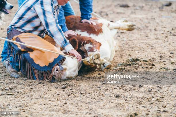 cowboy kneeling on a calf before it gets branded - livestock branding stock photos and pictures