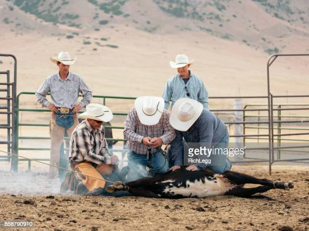 cowboy lifestyle in utah - livestock branding stock photos and pictures