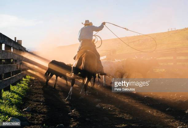 cowboy on horse lassoing bull, enterprise, oregon, united states, north america - cowboy stock pictures, royalty-free photos & images