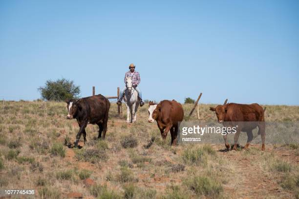 cowboy on horseback herding some cattle - eastern cape stock pictures, royalty-free photos & images
