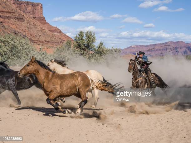 Cowboy or wrangler drives a herd of saddle horses with his lariat spinning overhead on the Red Cliffs Ranch near Moab, Utah, ready to rope the horse...