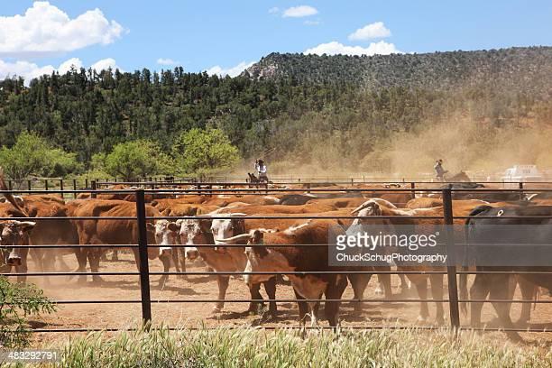 Cowboy Ranchers Herding Lassoing Cattle