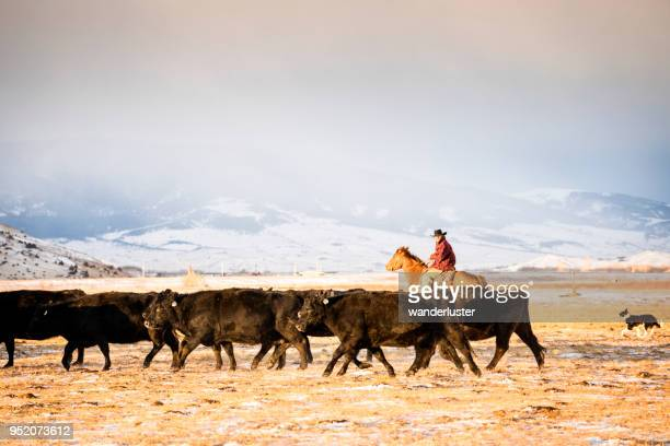 Cowboy riding a horse herds beef cattle in Absaroka Mountains