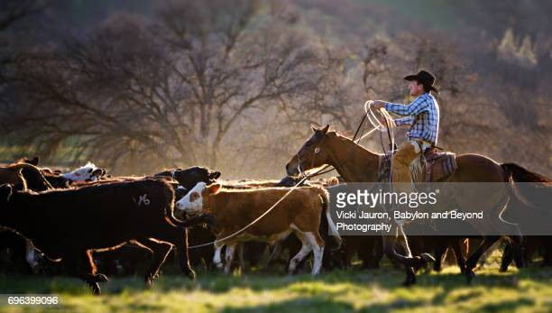 cowboy with lasso herding cattle in california - ranch stock pictures, royalty-free photos & images