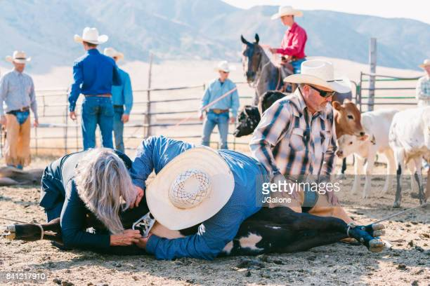 cowboys and cowgirl castrating a young bull - human castration photo stock photos and pictures