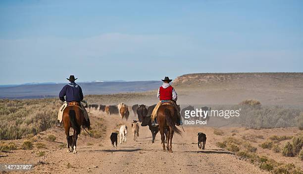 cowboys and dogs moving cattle - herder stock photos and pictures