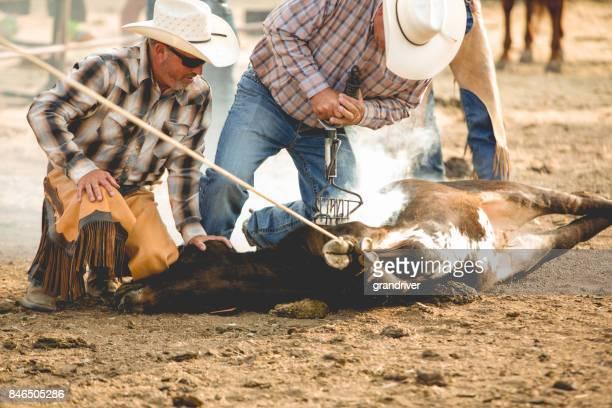 cowboys branding a calf - livestock branding stock photos and pictures