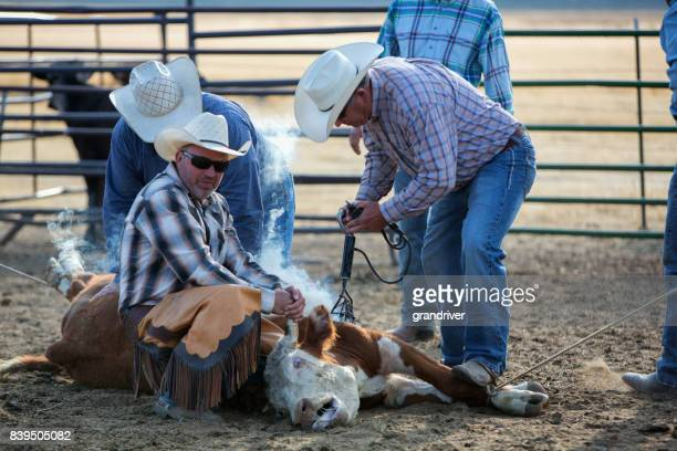 cowboys branding a young beef cow - livestock branding stock photos and pictures