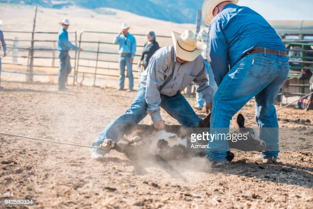 cowboys branding cattle - livestock branding stock photos and pictures