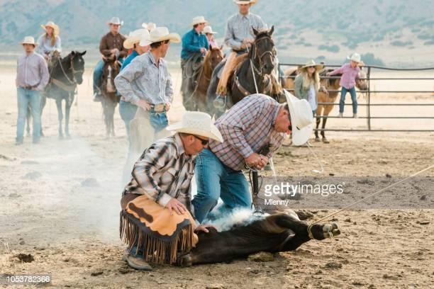 Cowboys Cattle Branding Bull Livestock Branding