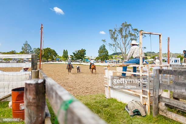 Cowboys competing against each other in a Far North Rodeo, horses running after cow by riders command, other cowboys observing the game from the side...