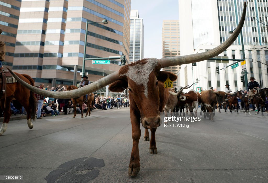 Annual Nat'l Western Stock Show Open With Parade Of Western Wagons And Cattle On Denver Streets : News Photo