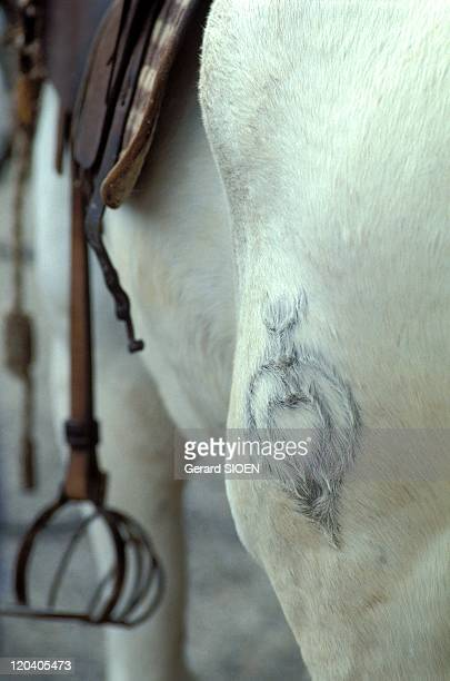 Cowboys festival in Camargue France Marking to fire iron of herd on horse