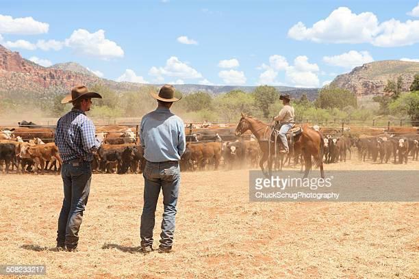cowboys herding branding cattle - livestock branding stock photos and pictures