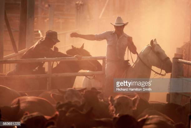 cowboys herding cattle into feedlot - lubbock stock pictures, royalty-free photos & images
