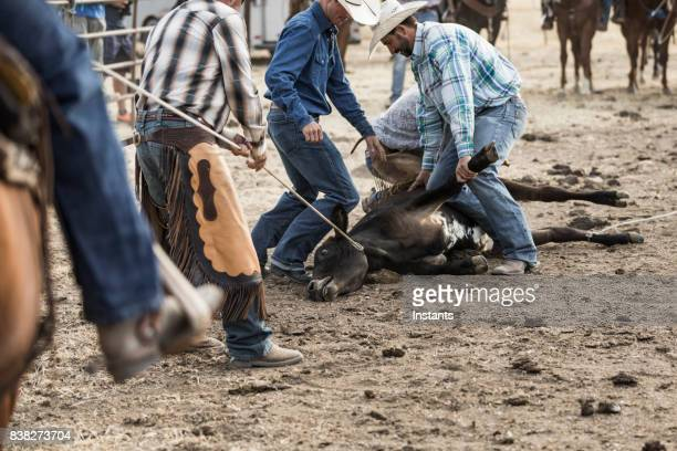 cowboys holding a bull that just been captured, which will be branded soon. - livestock branding stock photos and pictures