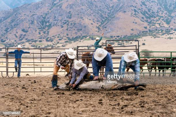 Cowboys holding cow ready for livestock branding