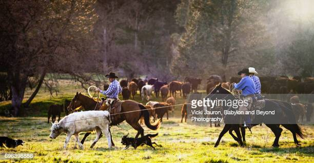 cowboys on cattle drive roping a calf - ranch stock pictures, royalty-free photos & images