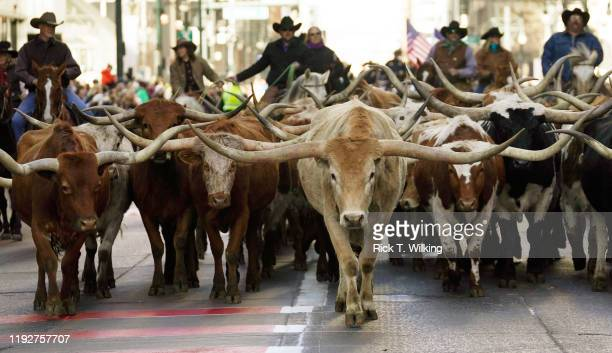Cowboys push a herd of Texas Longhorn steers down a city street as the annual cattle drive through downtown takes place January 9 2020 in Denver...