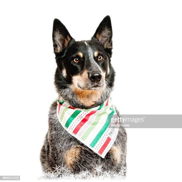 coweta,usa - australian cattle dog stock pictures, royalty-free photos & images
