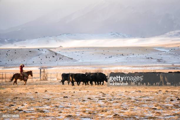 Cowgirl riding a horse herds beef cattle in Absaroka Mountains
