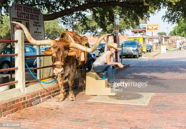 cowgirl waits for tourists with texas longhorn bull in stockyards - texas longhorn cattle stock photos and pictures