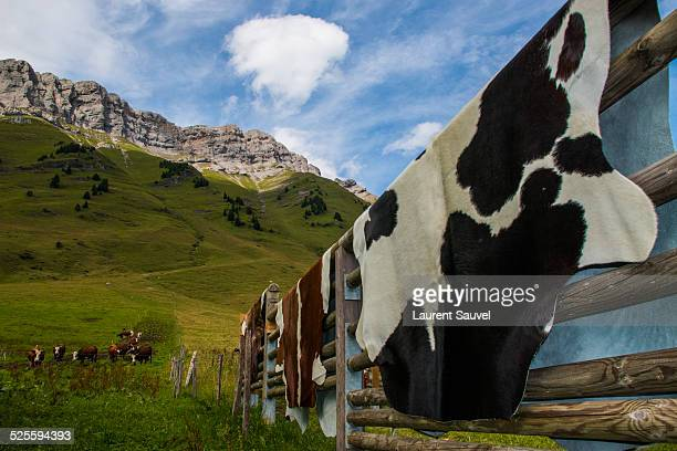 cowhides and cows, col des aravis, french alps - cowhide stock photos and pictures