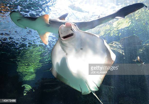 Cownose ray and Bonnethead shark swim at the Aquarium of the Pacific in Long Beach California on April 26 2012The Aquarium features a collection of...