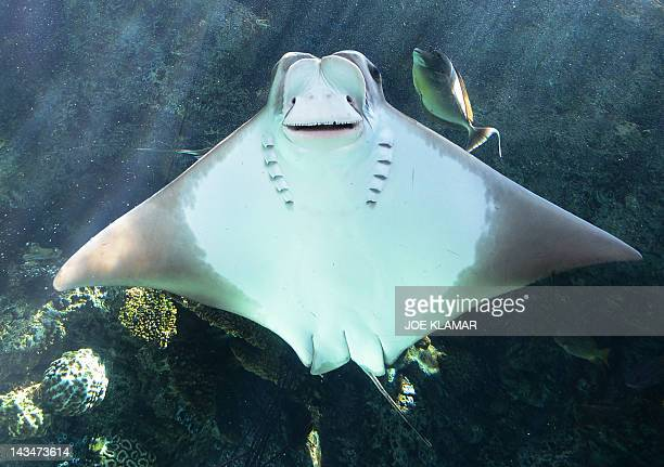Cownose ray swims at the Aquarium of the Pacific in Long BeachCalifornia on April 26 2012The Aquarium features a collection of over 11000 animals...