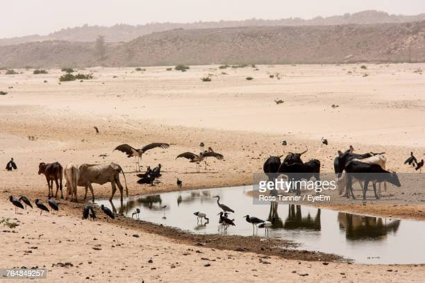cows and birds amidst pond at desert - sudan stock pictures, royalty-free photos & images